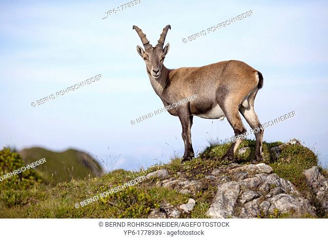 male Alpine Ibex Capra ibex, Niederhorn, Switzerland