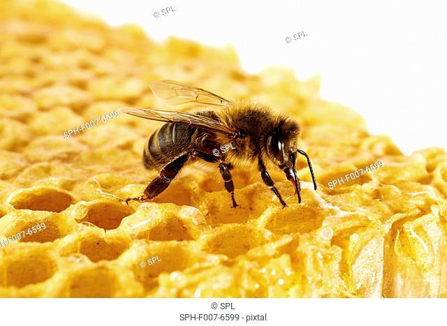 Honey bee (Apis mellifera) on honeycomb