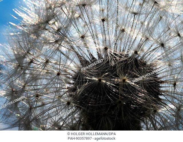 dpatop - A whithered dandelion with its hairy parachutes under the sunlight pictured at the edge of a field north of Hanover, Germany, 03 May 2017