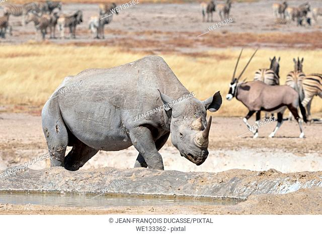 Black Rhinoceros (Diceros bicornis), adult male walking to waterhole, with herd of Burchell's zebras (Equus burchelli) behind, Etosha National Park, Namibia