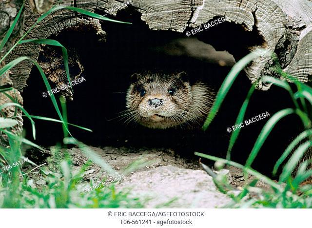 Eurasian river Otter (Lutra lutra), Alsace, France