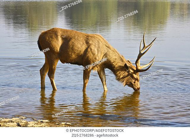 Sambar Deer (Cervus unicolor ) drinking water from Ranathambhore National Park, Rajasthan India