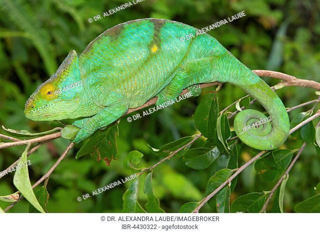 Parson's chameleon (Calumma parsonii parsonii) on branch, female, pregnant, colour variant yellow giant, Vohimana, Eastern Madagascar, Madagascar