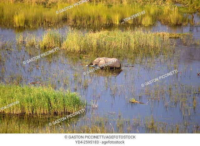 African Elephants (Loxodonta africana), in the flooplain, aerial view, Okavango Delta, Botswana. . The Okavango Delta is home to a rich array of wildlife