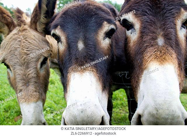 3 faces of donkeys side by side looking straight right at camera outside old farmhouse in the Dordogne region in France , Europe