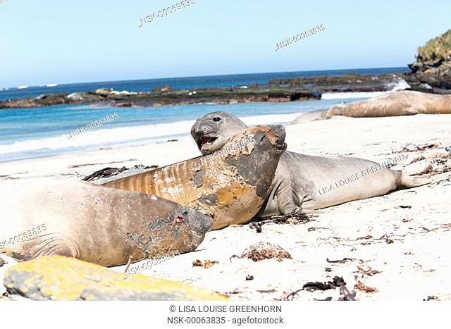 Elephant Seal (Mirounga leonina) young resting on each other, Falkland Islands, Sea Lion Island