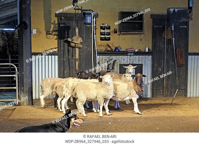 Australian working sheep dog herd sheep inside a sheep shearing shead
