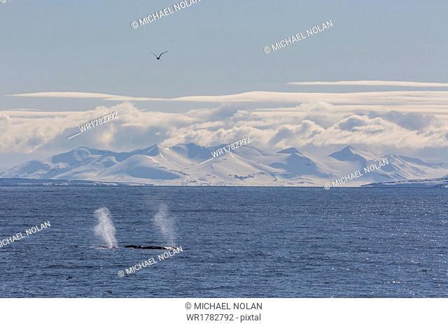 Adult humpback whales (Megaptera novaeangliae) feeding off the west coast of Spitsbergen, Svalbard, Arctic, Norway, Scandinavia, Europe