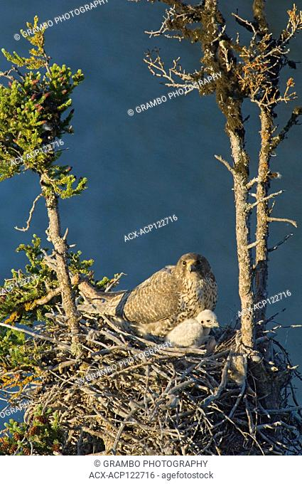 Gyrfalcon adult and young at nest in tree, Falco rusticolus. Summer, Whitefish Lake, Northwest Territories, Canada