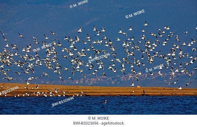 black-headed gull (Larus ridibundus, Chroicocephalus ridibundus), flying flock, Greece, Lake Kerkini