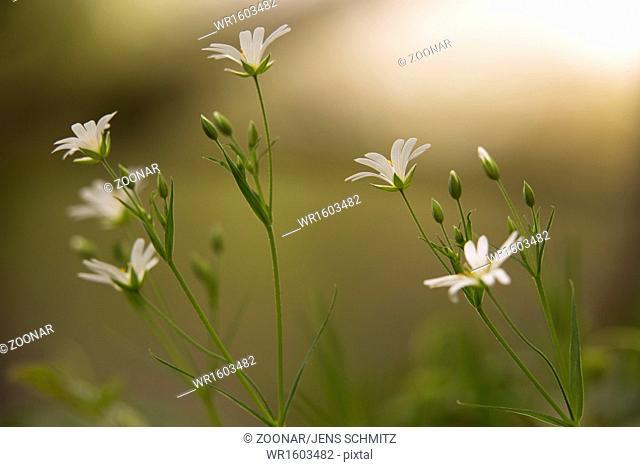 stitchwort, Stellaria holostea