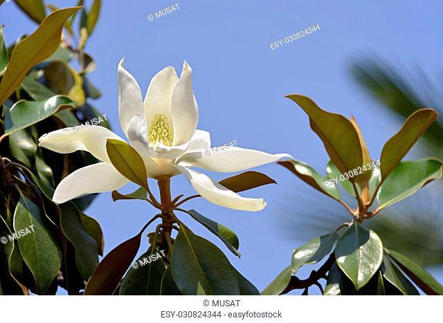 White flower of Magnolia grandiflora on blue sky background