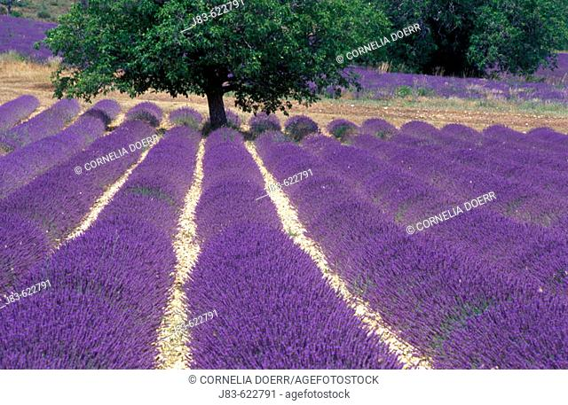 Tree in Lavender field, Plateau de Vaucluse, Sault, Provence, France