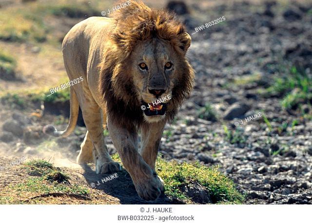 lion (Panthera leo), Tanzania, Ngorongoro National Park