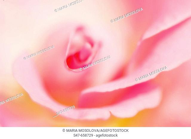 Pink Rose Close-up. Rosa hybrid. May 2007, Maryland, USA