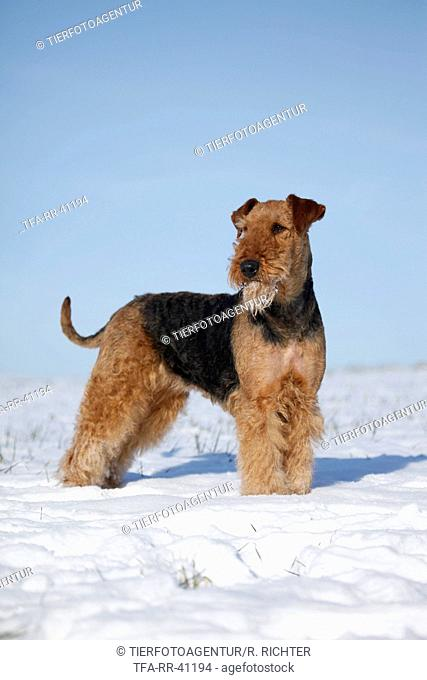 standing Airedale Terrier