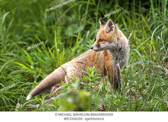 Red fox (Vulpes vulpes), cub, near Noerdlingen, Bavaria, Germany, Europe