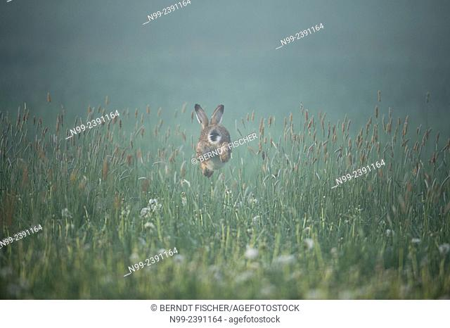 Hare (Lepus capensis), jumping over grass culms in meadow, Bavaria, Germany