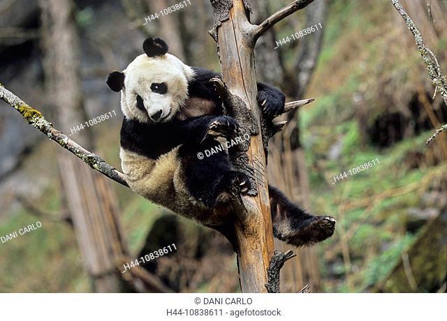 Giant Panda, Ailuropoda Melanoleuca, Wolong, Sichuan, China, Asia, Sichuan Giant Panda Sanctuaries, Man And Biosphere