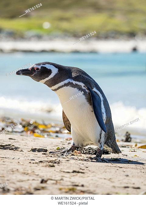 Magellanic Penguin (Spheniscus magellanicus) at beach. South America, Falkland Islands, October