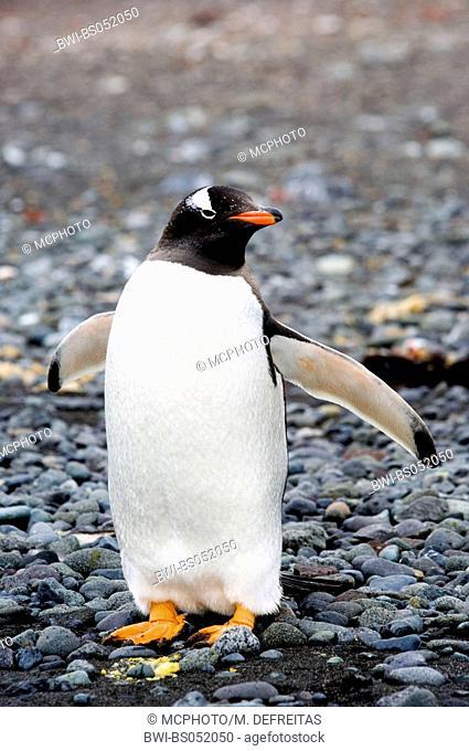 gentoo penguin (Pygoscelis papua), standing, Antarctica