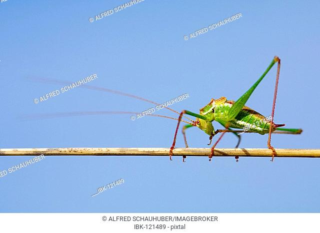 Bush Cricket (Leptophyes punctatissima)