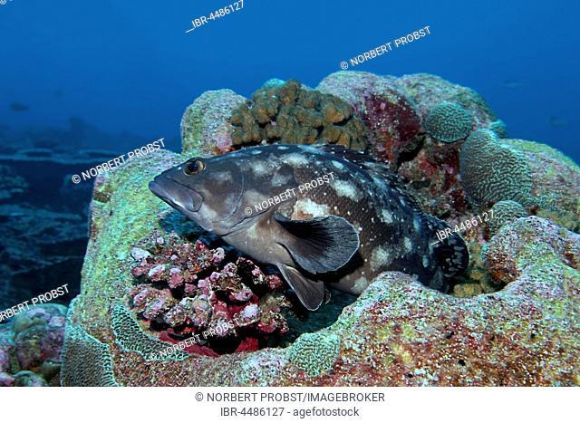 Whitespotted grouper (Epinephelus caeruleopunctatus) Indian Ocean, Maldives