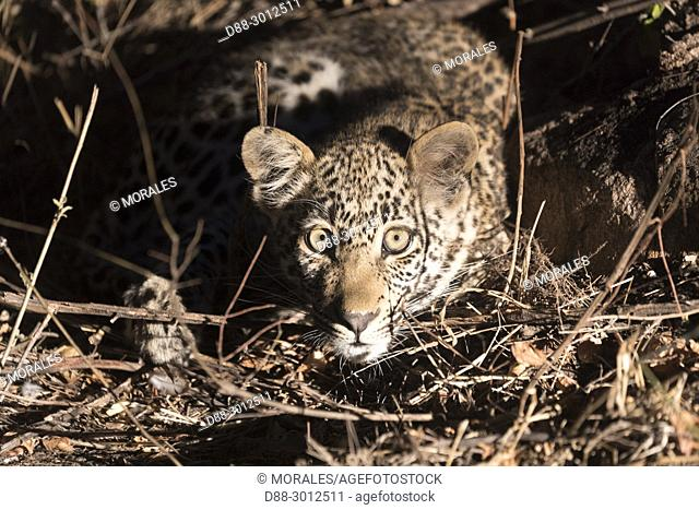 Africa, Southern Africa, South African Republic, Mala Mala game reserve, savannah, African Leopard (Panthera pardus pardus), young
