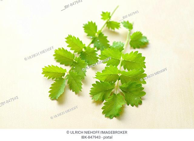 Small Burnet Saxifrage (Pimpinella saxifraga)
