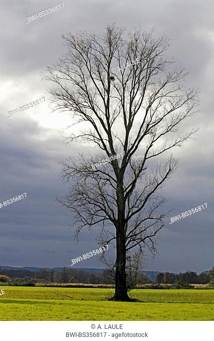white poplar, silver-leaved poplar, abele (Populus alba), single tree in front of the cloudy sky, Germany, Baden-Wuerttemberg, Ortenau