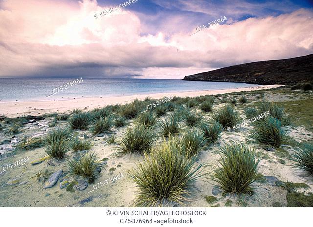 Tussock Grass (Poa flabellata).  Falkland Islands