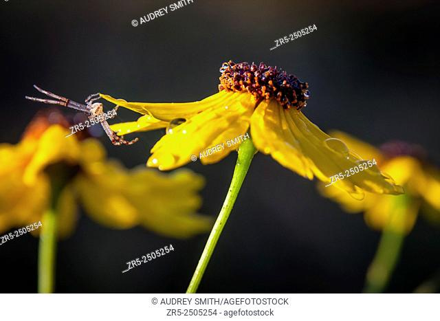A tiny spider clings to the petal tips of yellow dew-covered Leavenworth's tickseed flower (Coreopsis leavenworthii), stretching to remain obscure; Florida, USA