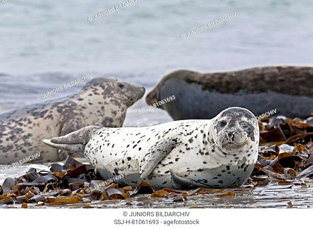 Harbour Seal ( phoca vitulina) resting on the beach, Grey Seal, Gray Seal (Halichoerus grypus) in the background