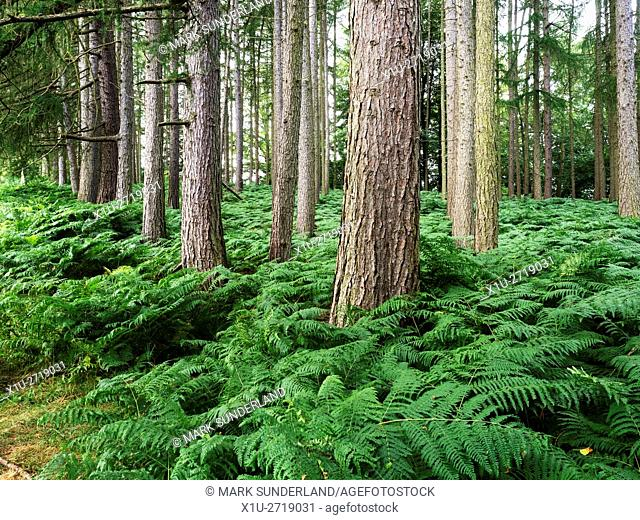 Pine Trees and Bracken in a Plantation near the Lake at Studley Park near Ripon North Yorkshire England