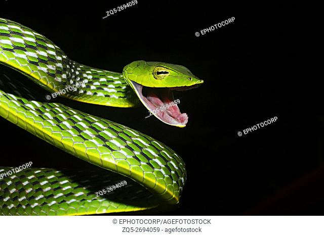 Name: Vine Snake (Ahaetulla nasuta) Location: Coorg, Karnataka