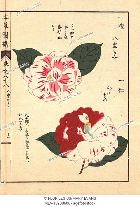 Scarlet and white camellias, Yahemomiji and Kagazome, Thea japonica Nois flore semipleno forma. Color-printed woodblock engraving by Kan'en Iwasaki from Honzo...