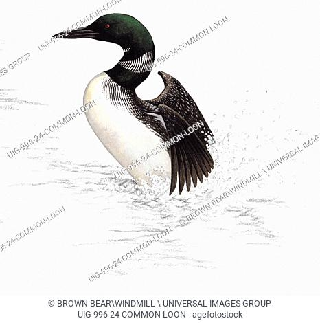 An illustration of an Common loon flapping its wings in the water