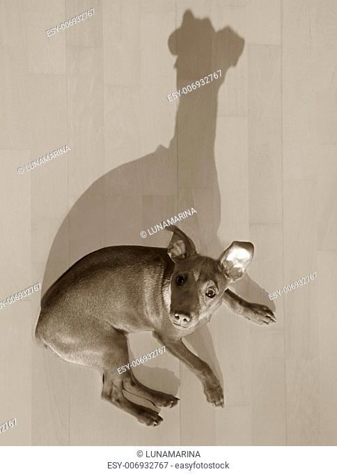 dog mini pinscher lying on wooden floor with funny shadow sepia color