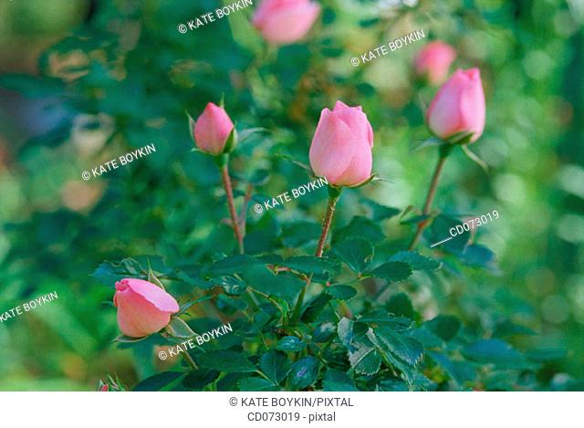 "Sweetheart Roses (Rosa x ""Cecile Brunner"")"