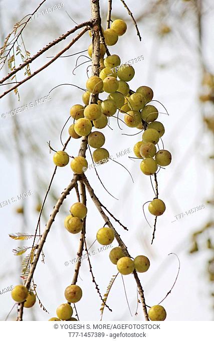 Amla, Emblica officinalis, Indian Gooseberries growing on tree, Miao, Arunachal Pradesh, India  Ayurvedic medicine and herb fruits