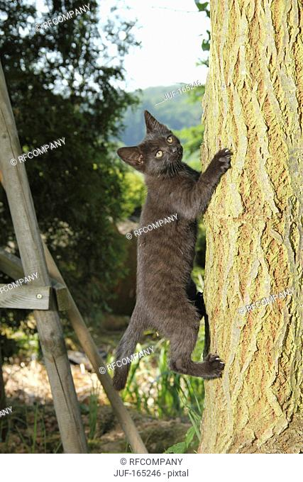domestic cat - kitten 70 days on tree