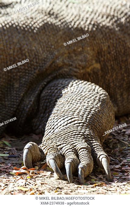 Komodo dragon (Varanus komodoensis). Komodo island. Komodo National Park. Indonesia, Asia