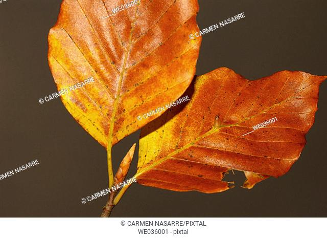 Fagus sylvatica leaves
