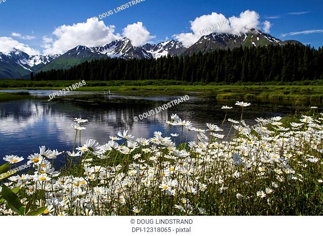 Daisies in full bloom next to a marsh and lake along Nash Road near Seward; Alaska, United States of America
