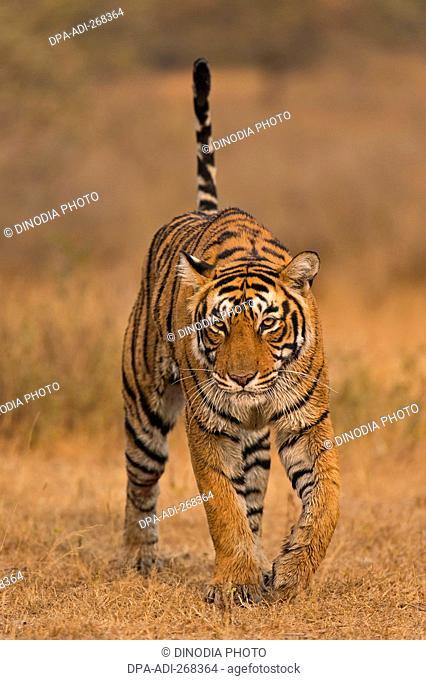 Bengal tiger in Ranthambhore national park, rajasthan, India, Asia