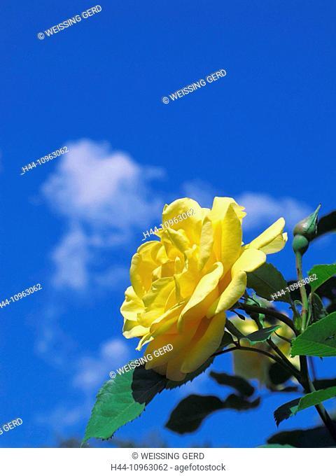 Plants, flower, rose, yellow, blossom, flourish, leaves, detail, sky, blue, bud