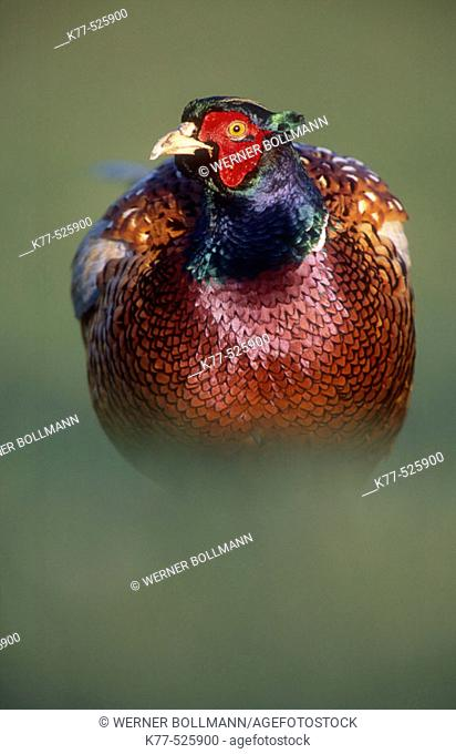 Male Ring-necked Pheasant (Phasianus colchicus). Juist Island, Germany