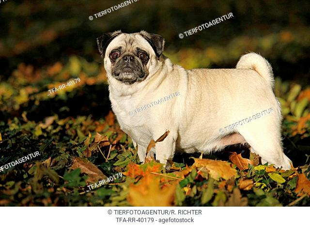 standing pug