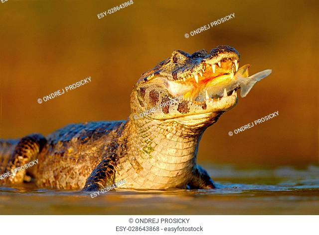 Caiman, Yacare Caiman, crocodile with fish in mouth with evening