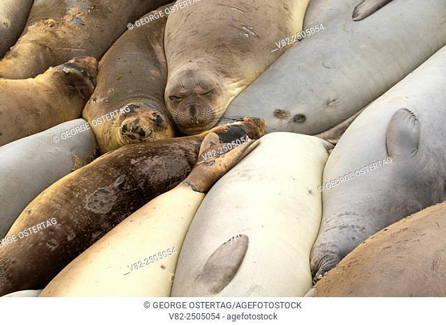 Elephant seals at Elephant Seal Boardwalk, Hearst San Simeon State Park, California